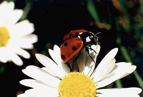 Ladybug (American English) = Ladybird (British English)
